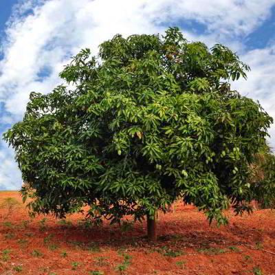 Getrocknete Früchte Online Kaufen, Mangobaum